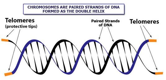 telomeres-dna.jpg